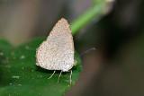 Allotinus sarrastes - male