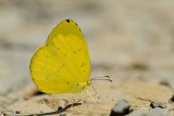 Eurema hecabe latilimbata (Common Grass Yellow)