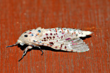 Zeuzera sp. indet (Cossidae)