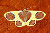 Plutodes sp. either P. argentilauta or P. malaysiana (Geometridae)