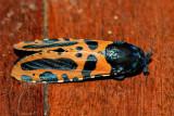 Xyleutes mineus (Cossidae)