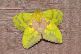Trabala sp. indet (Lasiocampidae)
