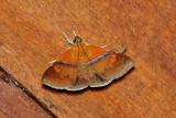 Sympis rufibasis (Noctuidae)