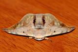 Mustilia dierli (Bombycidae)