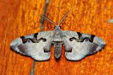 Hypochrysis pyrrhophaeata (Geometridae)