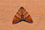 Artena inversa (Noctuidae)