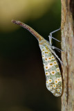 Laternaria oculata