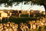 Posing Cattle