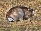 Damhert - Fallow Deer - Dama dama