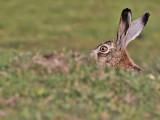 Hare - Haas - Lepus europaeus