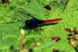 Dragonflies and Damsolflies in Brazil 2011