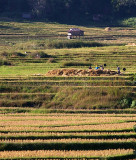 villagers working the ricefields