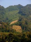Mekong dry rice crops