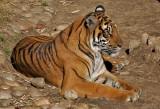 Sumatran Tiger (mom)