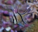 Bangai Cardinalfish
