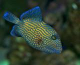 Bluelined triggerfish - Pseudobaslistes fucus