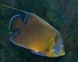 Semicircle Angelfish
