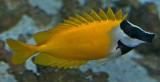 Foxface rabbitfish / Siganus vulpinus