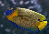 Blueface Angelfish / Pomacanthus xanthometopon