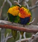 Lorikeet lovebirds