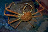 Large spider crab