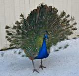 Juvenile Peacock displaying