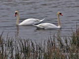Swans in SoCal? Yes!