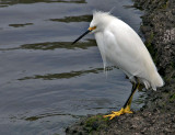 Snowy Egret (Young)