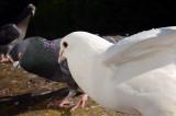 Pesky Pigeons on the Ledge