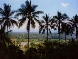 Palm Trees and Paddy Fields, Bali