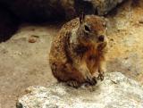 Ground Squirrel, Arizona