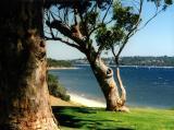 Perth Gum Trees
