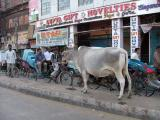 Central Reservation Cow