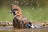 very wet jay