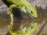 drinking lizard.jpg