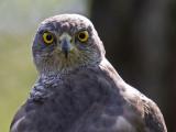 hawk eyes.jpg