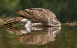 drinking hawk