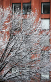 Snow Covered Pear Tree