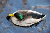 Wetland Duck