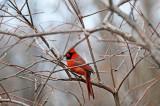 Wetland Cardinal
