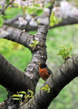 Robin in a Cherry Tree