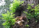 Gnarled Black Locust Tree Recently Decapitated