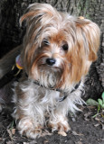 Jilly Yorkshire Terrier