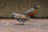 Starling & Robin