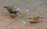 Starling & House Sparrow Contending for a Bread Crumb