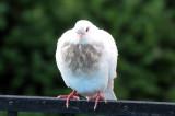 Pigeons - WSV Sasaki Garden