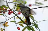 Catbird Feasting on Rose Hips