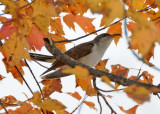 Yellow Billed Cuckoo - Coccyzus americanus