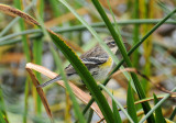 Yellow-Rumped Warbler or Setophago coronata