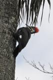 Pileated Woodpecker or Cryocopus pileatus